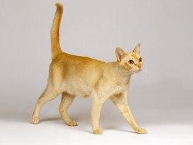 Рысь мяукает - Всё о кошачьих